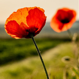 photography poppy flowers vibrant mypic freetoedit