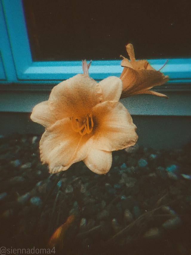 Here is a flower in @avery29 's backyard! :D The quality is a little lesser since the sun was going down, my phone camera isn't the best in the dark :) ✨🪐🦋  Tags: @nqstiyq @xxjxst_leaxx @marlene_eim / @just_mali_ @artist_noor @dilara_2210 / @disney_dreamer- (Feel better soon! 💗) @jennaulin @rachelvbsb88 @gweni_120208 @ruyacenik_02 @sienna_the_artist @draw2liv  @aggie2_0  My second account: @just_sienna  Have a great day or night! :D 💗💗💗  #flower #flowers #night #minnesota #summer #june #photography #nature #naturaleza #blm #alllivesmatter #blacklivesmatter #followthem  ✨🪐🤍 👊🏻👊🏼👊🏽👊🏾👊🏿   #freetoedit