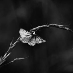 freetoedit photography monochrome butterfly naturelovers