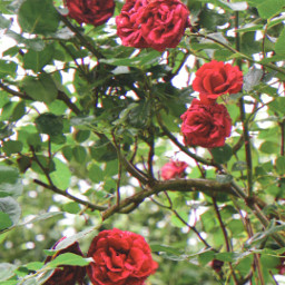 freetoedit roses flowers myphoto june