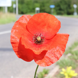 nature flower poppy closeup roadsideflowers freetoedit