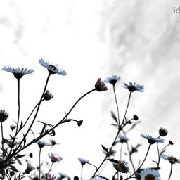 nature wildflowers flowers photography daisy freetoedit