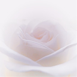 flower white rose photography flowerphotography freetoedit