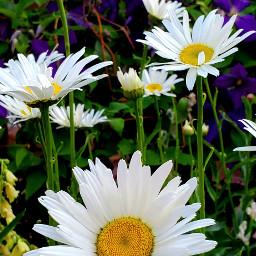 freetoedit flowers daisies