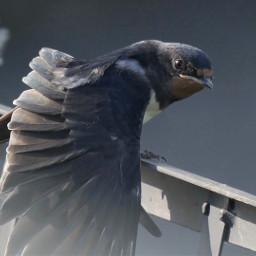 swallow bird animalphotography
