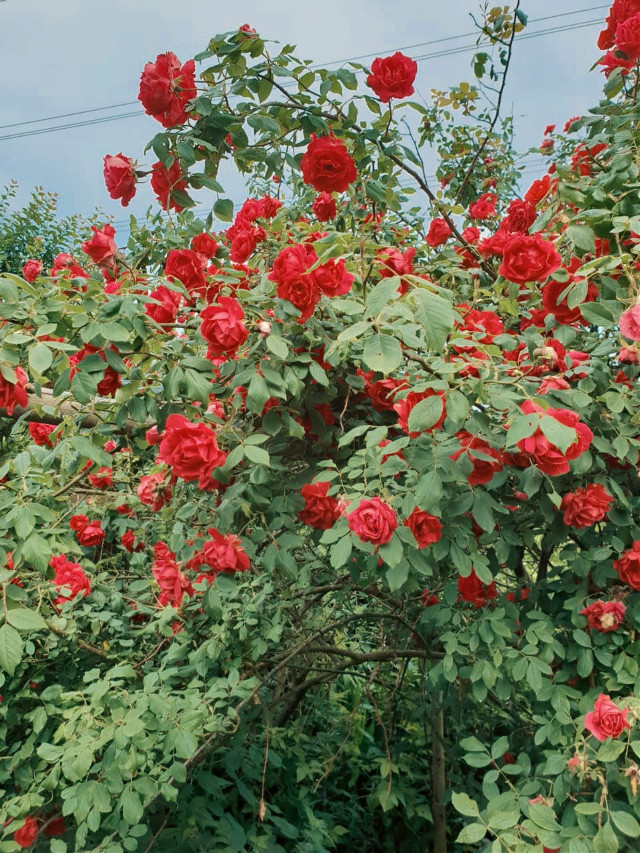 #freetoedit #summer #roses #garden#nature  #somewhere #netherlands ♥️