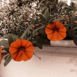 flower flowers minnesota july july1 freetoedit
