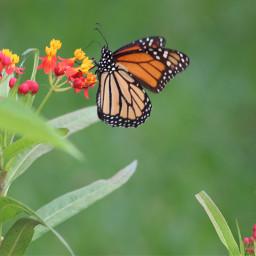 freetoedit butterfly butterflylove vividcolor monarchbutterfly
