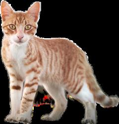 freetoedit cat ftestickers feline animal
