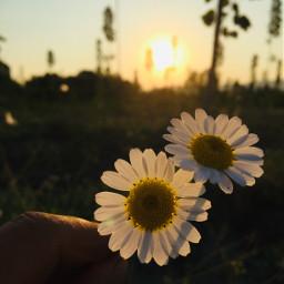 daisy daisyflower sunset picsart