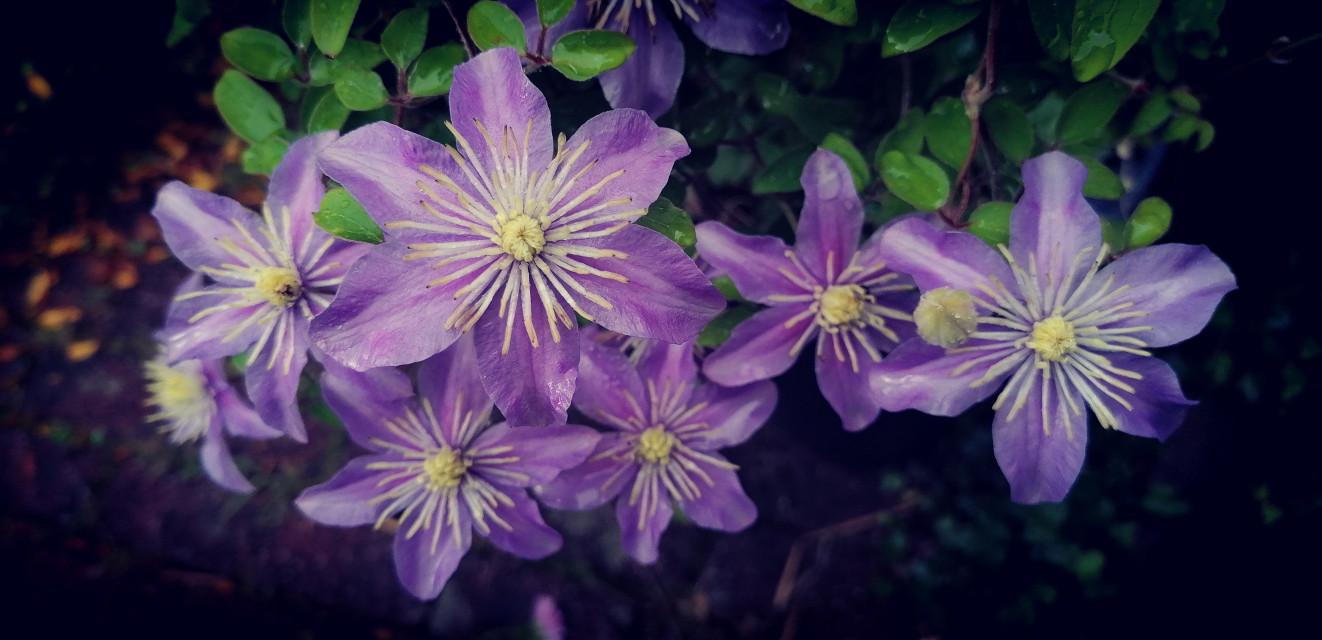 ... Happy Sunday dear friends🙏🌞❤️ ...  #freetoedit #flowers #photography #photo #naturephotography #nature #lilac #clematis #myphoto #myclick #intothegreen #lovely #beautiful #littleflowers #blossoms #happysunday