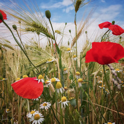 summerdreams flowers inthefield poppies chamomile