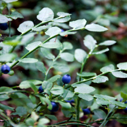 blueberry blueberries forest green greenleaves freetoedit