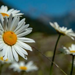 freetoedit daisy naturephotography closeup flowers