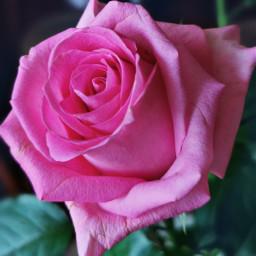 freetoedit flower rose beautifulflower beautifulnature