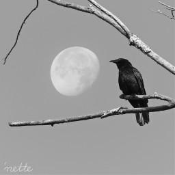 freetoedit crow silhouette myoriginalphoto moon