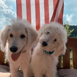 cute dog puppies goldendoodle fourthofjuly