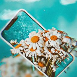 freetoedit flower chalenge daisy mobile ircchamomilesanddaisies chamomilesanddaisies