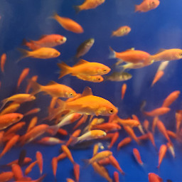 goldfish fish orange blue underwater pctwohues freetoedit