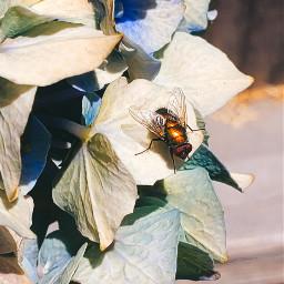 freetoedit fly hydrangeas summer stayathome