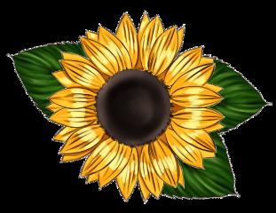 sunflower leaves yellow bold flower freetoedit