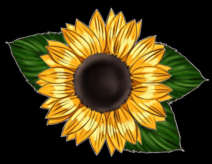#sunflower #leaves #yellow #bold #flower #singleflower #summer #grow #bright