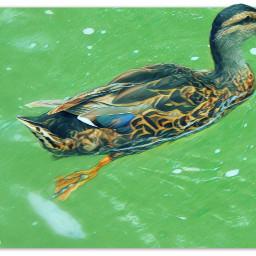 myphotography bird mallard duck swimming