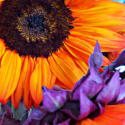 freetoedit sunflowers vivid colorful flowers pctwohues twohues
