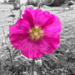 flowershoutout colorsplasheffect colorsplash garden blackandwhite ftestickers freetoedit