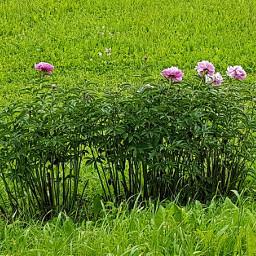 peonies nature meadow naturephotography naturelovers freetoedit