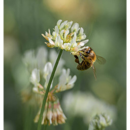 bee nature clover insect freetoedit