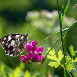 freetoedit photography nature butterfly naturephotography