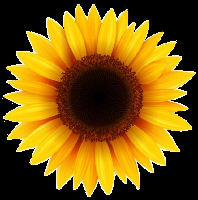 Girasol  #girasol #girassol #girassol🌻  #girasol🌻 #girasole  #girasoles🌻 #girasoles  #sunflower #sunflowers #sunflowersticker #framephotograph #framedpicture #stickers  #freetoedit