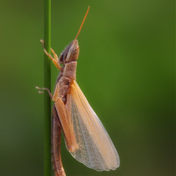 grasshopper grasshoppers insect insects natural