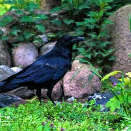 freetoedit photography bird raven nature