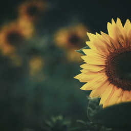 freetoedit photography sunflowerfield picsarteffects