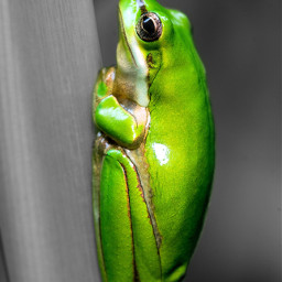 frog cute colorsplasheffect colorsplash blackandwhite ftestickers freetoedit