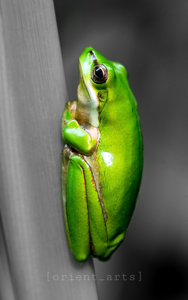 Kiss me please. I'm a prince 😁   #frog #cute #colorsplasheffect #colorsplash #blackandwhite #orient_arts #Madewithpicsart #Freetoedit #Ftestickers #stayinspired #createfromhome#Remixit  •••••••••••••••••••••••••••••••••••••••••••••••••••••••••••••••    Edited by: @orient_arts  •••••••••••••••••••••••••••••••••••••••••••••••••••••••••••••••    Art • Freetoedit • Remix • Remixit   Picsart • Awesome • Aesthetic • Remixed  ••••••••••••••••••••••••••••••••••••••••••••• @picsart ••••