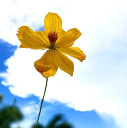 flowershoutout nature yellowflower flowers templates freetoedit
