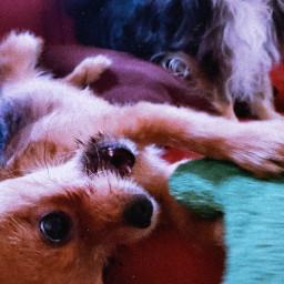 pets dogs dogsofpicsart mypet petsandanimals freetoedit
