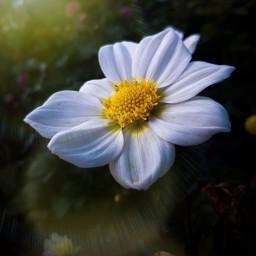 freetoedit lensflare flower nature floral