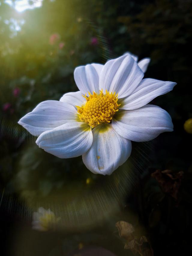✨☀️🌼✨  #freetoedit  #lensflare #flower #nature #floral #naturelover #beauty #
