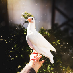 art picsart inmyhand pigeon cute