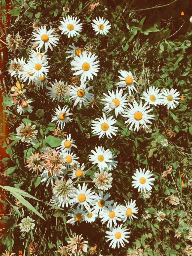 #freetoedit #sweet #simple #flowers #photography #myphoto #replay #interesting #madewithpicsart #beauty #madewithpicsart #like #love #follow