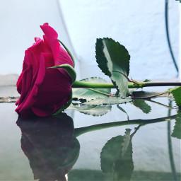 rose romance water mirrior watermirror pcwaterreflection waterreflection