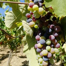 freetoedit fotografia fruit frutta grapes