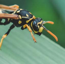 wasp paperwasp nature stinger antennae eyes wings freetoedit