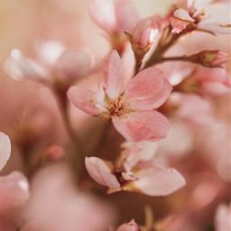 nature plantsandflowers flowers pinkflowers simpleflowers freetoedit