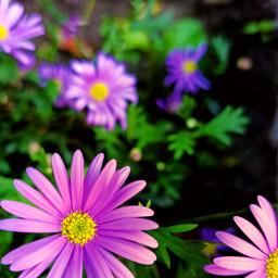 freetoedit kinora flowers mygarden loveit madewithpicsart picsart purple nature