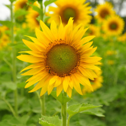 sunflower summer myphoto yellow beautiful nature flower lovelyday amazingnature godscreation iloveit fascinating afternoon picsart freetoedit